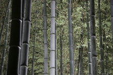 Canvas print - Bamboo Forest at Night