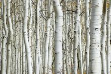 Fototapet - Aspen Forest