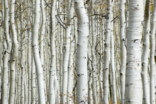 Canvastavla - Aspen Forest