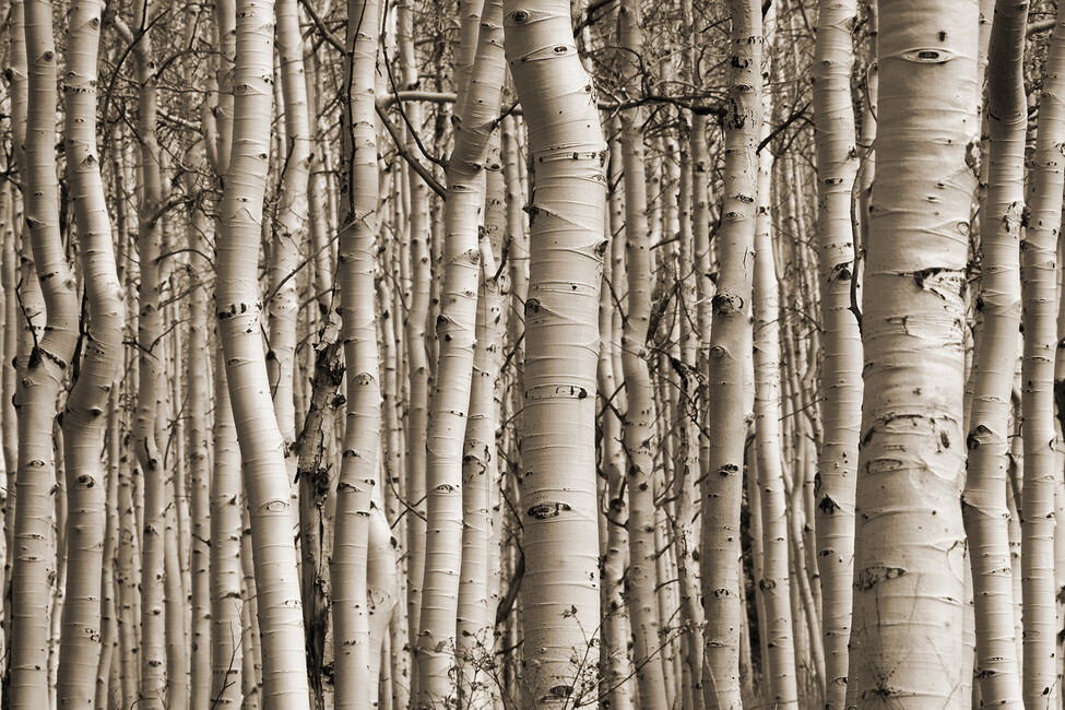 Aspen Forest Wall Mural Amp Photo Wallpaper Photowall