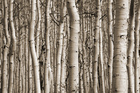 Canvas print - Aspen Forest