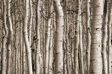 Fototapet - Aspen Forest - Sepia