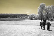 Fototapet - Horses in Infrared