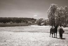 Fototapet - Horses in Infrared - Sepia