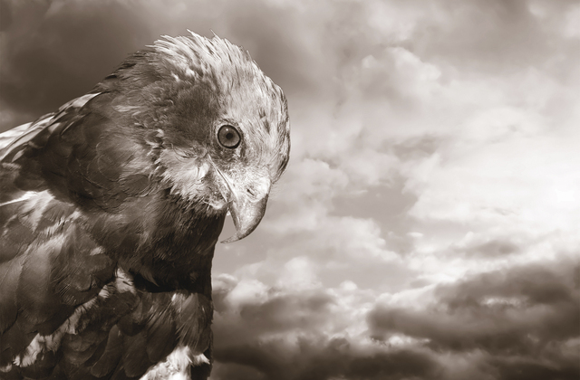 Eagle sepia wall mural photo wallpaper photowall for Eagle wall mural