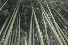 Canvastavla - Bamboo Forest