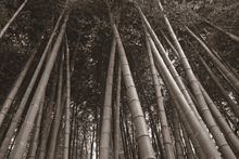 Canvastavla - Bamboo Forest - Sepia