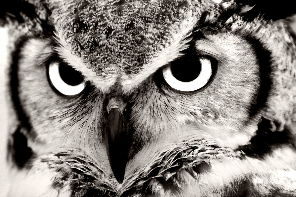 Great Horned Owl - Wall Mural & Photo Wallpaper - Photowall
