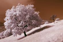 Fototapet - Oak Tree