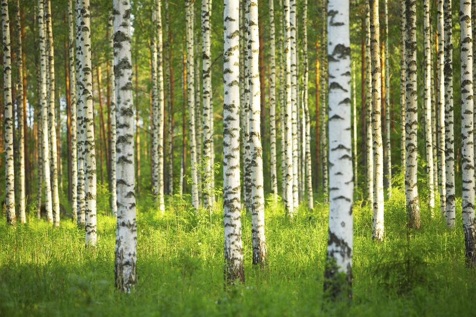 Fototapete birkenwald  Wald & Birkenwald - Birch Forest - Fototapete & Tapete - Photowall