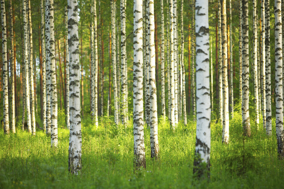 Birch forest wall mural photo wallpaper photowall for Birch tree forest wall mural