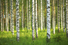 Fototapet - Birch Forest