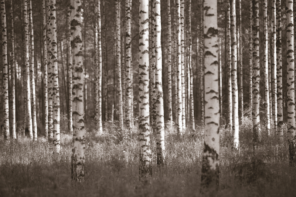 Birch Forest - Sepia