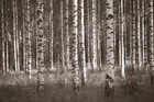 Canvas print - Birch Forest - Sepia