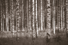 Wall mural - Birch Forest - Sepia