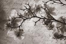 Fototapet - Magnolia Memories - Sepia