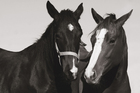 Wall mural - Two Thoroughbreds
