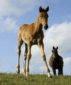 Canvastavla - Young Foal