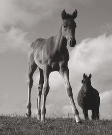 Canvas print - Young Foal
