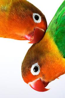 Canvastavla - Pair of Lovebirds