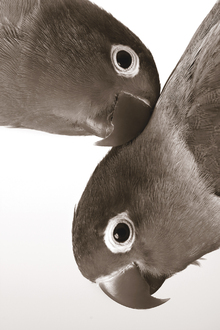 Canvastavla - Pair of Lovebirds - Sepia