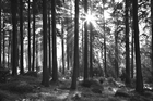 Fototapete - Sunbeam through Trees