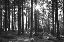 Fototapet - Sunbeam through Trees - b/w