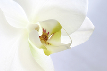 Canvastavla - White Orchid