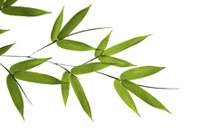 Canvastavla - Bamboo Leaves