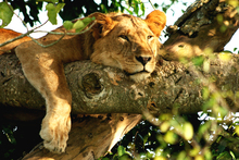 Wall mural - Lazy Lion