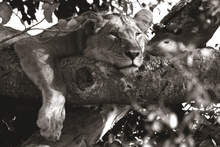 Wall mural - Lazy Lion - Sepia