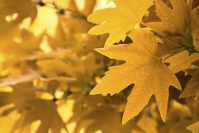 Wall mural - Yellow Leaves