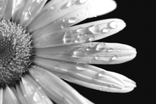 Canvastavla - Daisy Close up
