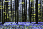 Canvas print - Dark Tree and Bluebells