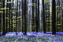 Fototapet - Dark Tree and Bluebells