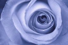 Fototapet - Blue Rose