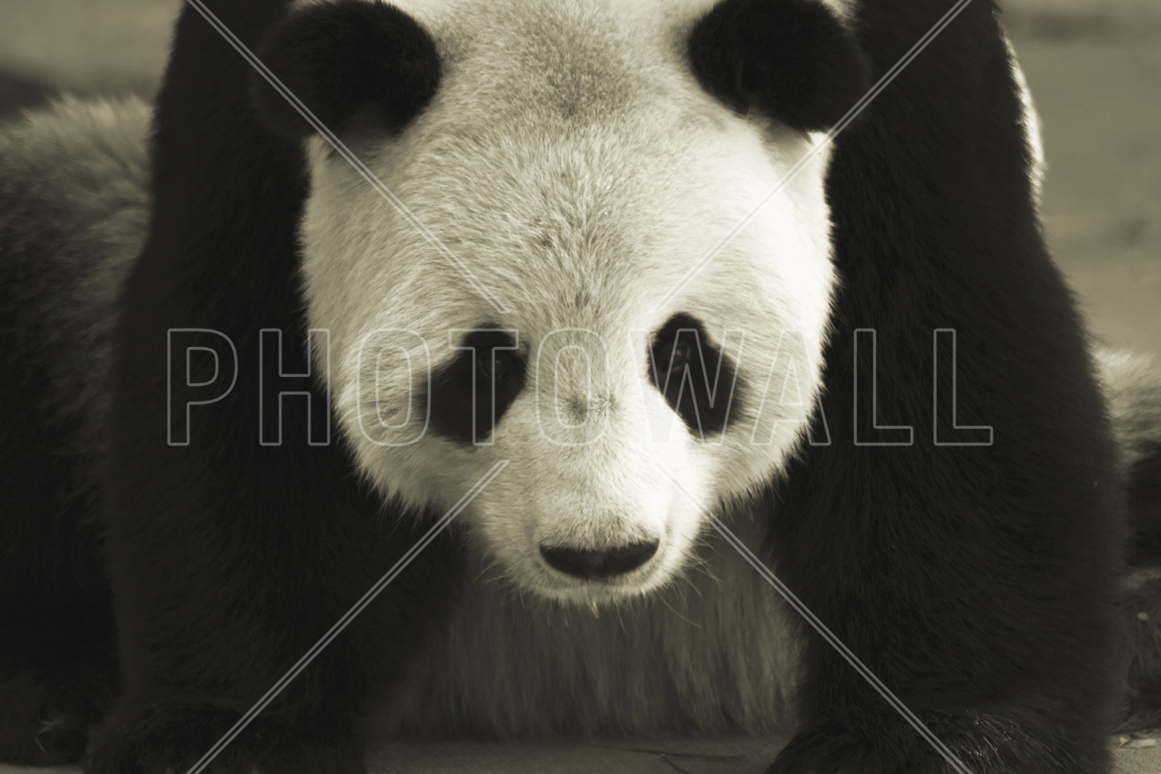 Giant Panda - Bilder på lerret - Photowall