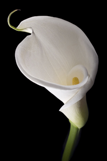 Canvastavla - White Calla