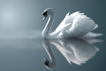 Wall mural - Swan Reflection