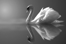 Fototapete - Swan Reflection