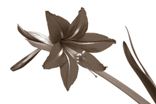 Canvastavla - Red Lily - Sepia