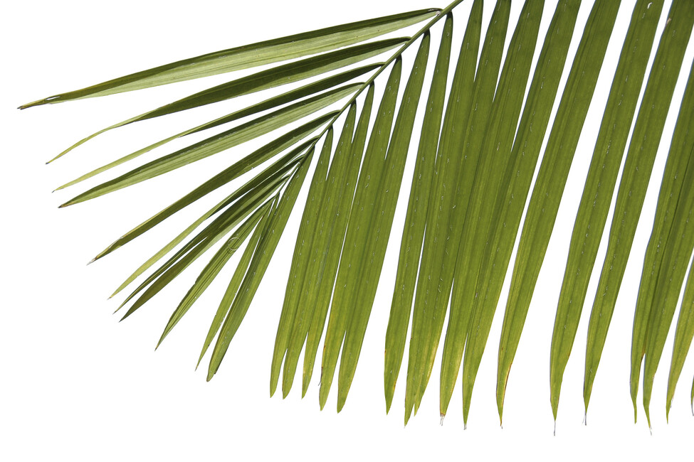 palm leaves wallpaper related - photo #18