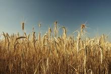 Fototapet - Wheat Field