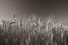 Fototapet - Wheat Field - Sepia