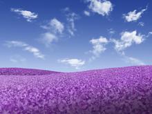 Fototapet - Violet Meadow