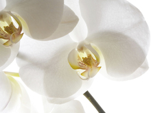 Canvas print - White Orchids