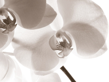 Canvas print - White Orchids - Sepia