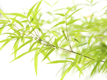 Fototapet - Miniature Bamboo