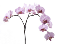 Canvastavla - Pink Orchids