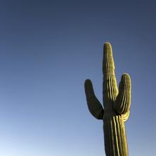 Fototapet - Arizona Cactus